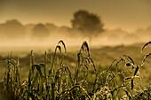Schilf mit Morgentau vor Viehweide im Nebel bei Sonnenaufgang, Hesel, Friedeburg, Wittmund, Ostfriesland, Niedersachsen, Deutschland, Europa