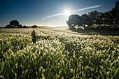 Rye field in morning light, Reepsholt, Friedeburg, Wittmund, East Frisia, Lower Saxony, Germany, Europe