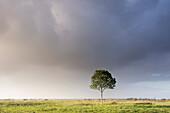 Single tree under rain cloud on pasture in evening light, Gödens, Sande, Friesland District, Lower Saxony, Germany, Europe