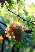 Grape in the Vineyard of Valpolicella in Negrar near Verona, Venetian, Italy