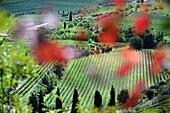 Weinberg im Valpolicella Weingebiet bei Negrar bei Verona, Veneto, Italien