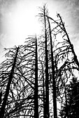 Graphic black and white motif of bare coniferous wood trunks against the light, Aldein, South Tyrol, Alto Adige, Italy