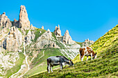 A meadow of the Alpe di Siusi with cows and the mountain range Rosszahne, Siusi, South Tyrol, Alto Adige, Italy