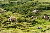 Wild horses on the Alpe di Siusi, Siusi, South Tyrol, Alto Adige, Italy