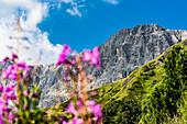 View from an alpine meadow with flowers of the Alpe di Siusi to the surrounding mountains, Seis, South Tyrol, Alto Adige, Italy