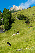 A mountain slope of the Seiser Alm with cows and horses, Siusi, South Tyrol, Alto Adige, Italy