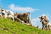 Cows on the Alpe di Siusi listen to an alphorn, Compatsch, South Tyrol, Alto Adige, Italy