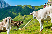 Cows on the Alpe di Siusi listen to an Alphorn player, Compatsch, South Tyrol, Alto Adige, Italy