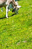Alpine meadow with grazing cow, Zell am Ziller, Zillertal, Tirol, Austria