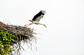 White Stork (Ciconia ciconia) in nest on roof, near Salem, Lake Constance, Baden-Württemberg, Germany