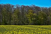 Field in front of forest, Kellenhusen,  Schleswig Holstein, Germany