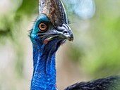 The southern cassowary (Casuarius casuarius). Bali Bird Park, Batubulan, Gianyar regency, Bali, Indonesia.