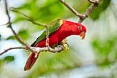 Chattering Lory (Lorius garrulus). Bali Bird Park, Batubulan, Gianyar regency, Bali, Indonesia.