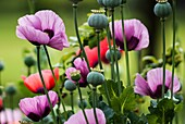 Poppy enchantment in an English garden. Lilac and red poppies with dark patches.