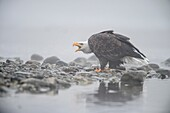 Bald eagle (Haliaeetus leucocephalus)- Attracted to sockeye salmon run on the Chilko River, Chilcotin Wilderness, BC Interior, Canada.