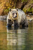 Grizzly bear (Ursus arctos)- Attracted to a sockeye salmon run in the Chilko River, Chilcotin Wilderness, Ontario, Canada.