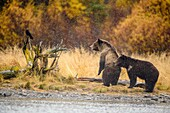 Grizzly bear (Ursus arctos)- Siblings warily observing potential danger near the Chilko River, Chilcotin Wilderness, BC Interior, Canada.