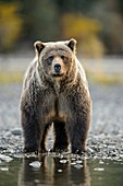 Grizzly bear (Ursus arctos)- Walking river shoreline in search of sockeye salmon, Chilcotin Wilderness, BC Interior, Canada.