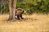 Grizzly bear (Ursus arctos)- Scratching and rubbing sides on a tree trunk, Chilcotin Wilderness, BC Interior, Canada.