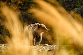 Grizzly bear (Ursus arctos)- Attracted to a sockeye salmon run in the Chilko River, Chilcotin Wilderness, BC Interior, Canada.