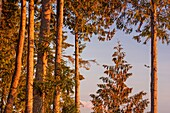 Fir trees overlooking the Nanaimo River Estuary, Living Forest Campground, Nanaimo, British Columbia, Canada.