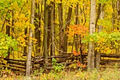 Autumn woodland and cedar split-rail fence, Perivale, Manitoulin Island, Ontario, Canada.
