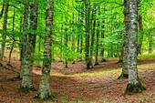 Beechwood. Otsaportillo route. Urbasa-Andia Natural Park. Navarre, Spain, Europe.