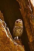 Indian Scops Owl, Otus bakkamoena, Ranthambhore Tiger Reserve, Rajasthan, India.