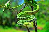 Green Vine Snake, Ahaetulla nasuta, Dudhsagar, Goa, India.