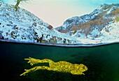 Common midwife toad. Nurse frog (Alytes obstetricans). Rio Braña. Los Collainos. La Raya. Puerto de San Isidro. Asturias. Spain. Europe.