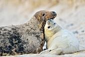 Grey Seal, Halichoerus grypus, Female wih Pup, Helgoland, Dune, North Sea, Island, Schleswig-Holstein, Germany.
