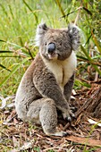 Koala, Phascolarctos cinereus, Sitting on Floor, Victoria, Australia.