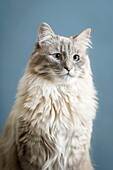 Portrait of a Hymalayan Coon Cat in studio.