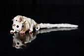 Sugar Glider with baby in a black background.