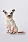 Senior chihuahua dog on white background.