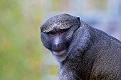 An Allen's Swamp Monkey poses for the camera