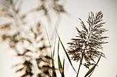 Reed with spikes (Phragmites australis). Almansa. Albacete province. Spain.