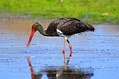 Adult Black stork (Ciconia nigra). Parque Nacional de Monfragüe, Extremadura, Spain.
