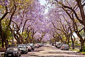 Blossoming Jacaranda trees line a street in Santa Ana, CA. Jacaranda is a genus of 49 species of flowering plants in the family Bignoniaceae.