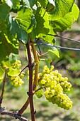 New Zealand, North Island, Auckland, vineyard.