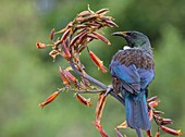 A tui (Prosthemadera novaeseelandiae) is an endemic passerine bird of New Zealand feeding on a flax plant. Whangarei, Northland, New Zealand.