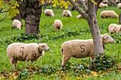 Sheep grazing, Alqueria d Avall, Bunyola, region of the Serra de Tramuntana, Mallorca, Spain.