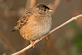 Golden-crowned sparrow, George C Reifel Migratory Bird Sanctuary, British Columbia, Canada.