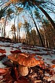 Mushroom in a woodland, Boletus edulis in the snow. Aveto valley, Genoa, Italy, Europe.