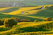 Pienza, Orcia valley, Tuscany, Italy. A white road among wheat fields in the val d'Orcia's hills at sunset with a tree in foreground.