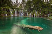 Plitvice National park, Croatia. A trunk into a lake and waterfalls.