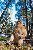 Atlas, Morocco. Barbary monkeys in the forest.