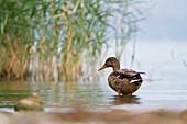 Sebino Natural Reserve, Lombardy, Italy. Mallard.