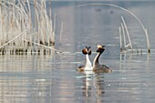 Iseo Lake, Lombardy, Italy. Great crested grebe.