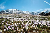 A meadow covered with crocus in Andossi, snow-capped peaks in the background - Valchiavenna, Italy.